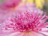 菊の花 管物菊 花びら