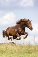 ジャンプするアンダルシア馬