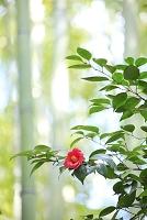 京都府 椿の花と竹林