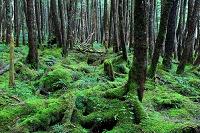 長野県 白駒の原生林