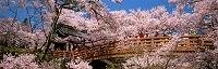 長野県・伊那市 高遠城址公園・コヒガンザクラ