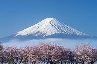 山梨県 サクラと朝霧と富士山