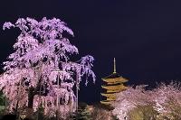 京都府 サクラの咲く東寺