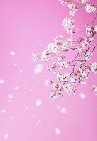 ピンクバックに桜 (CG)