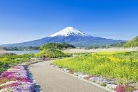 山梨県 菜の花とシバザクラと富士山