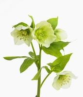 ヘレボルスの花
