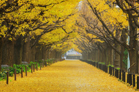 東京都 神宮外苑いちょう並木黄葉