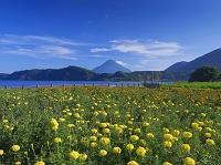 鹿児島県 マリーゴールド咲く池田湖より開聞岳(薩摩富士)
