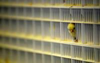 鳥インフルエンザ予防の注射の接種を開始 エジプト