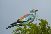 南アフリカ共和国 クルーガー国立公園 ニシブッポウソウ
