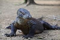 コモドドラゴン コモド(インドネシア)
