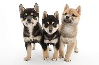 シバ 3頭の仔犬