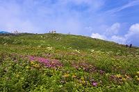 滋賀県 伊吹山 高山植物の花畑