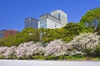 東京都 皇居外苑のサクラと丸の内のビル