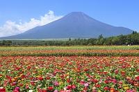 山梨県 花の都公園 夏富士と百日草