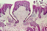 味蕾 顕微鏡写真