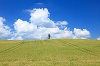 北海道 大麦畑と一本の木