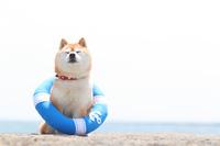浮き輪を付ける豆柴犬