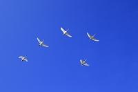 新潟県 白鳥 飛翔