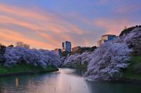 東京都 桜咲く千鳥ヶ淵の夕景