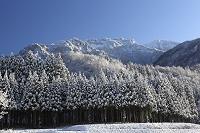 新潟県南魚沼市 杉樹林と八海山