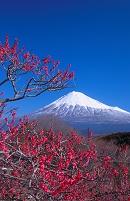 静岡県 早春の富士山と紅梅