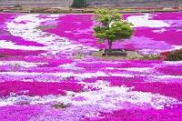 長崎県 松本ツツジ園の芝桜