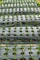 長ネギのマルチシート栽培(家庭菜園)