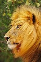 南アフリカ カラハリ ライオン