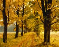 黄葉の並木道