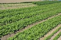 菊菜と小松菜の露地栽培