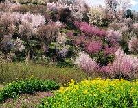 福島県 花見山春爛漫