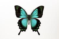 蝶 標本 ヘリボシレリアゲハ インドネシア