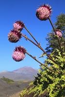 静岡県 御殿場口登山道 富士山とフジアザミの花