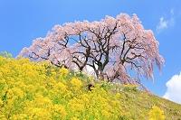 福島県 芦ケ沢の桜と菜の花