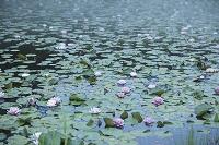 広島県 八幡湿原 スイレンとカキツバタ