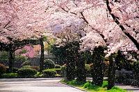 東京都 府中市 桜吹雪