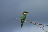南アフリカ共和国 クルーガー国立公園 ヨーロッパハチクイ