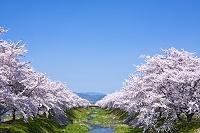 長野県 桜並木