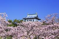 北海道 松前城と桜