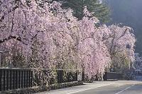 秋田県 角館の武家屋敷の枝垂桜
