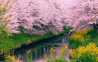 千葉県 桜と菜の花