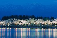 新潟県 阿賀野市水原 瓢湖の夜桜