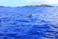 東京都 小笠原諸島 父島 観光船から見るハシナガイルカのジャン...
