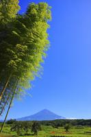 静岡県 初秋の富士山と青竹