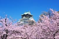 大阪府 桜の大阪城