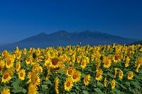 山梨県 明野 ヒマワリの花畑 八ヶ岳連峰