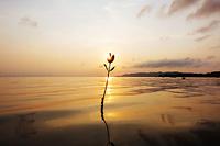 マングローブの若木と夕日