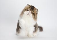 エキゾチックショートヘア 猫