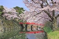 青森県 桜の弘前公園